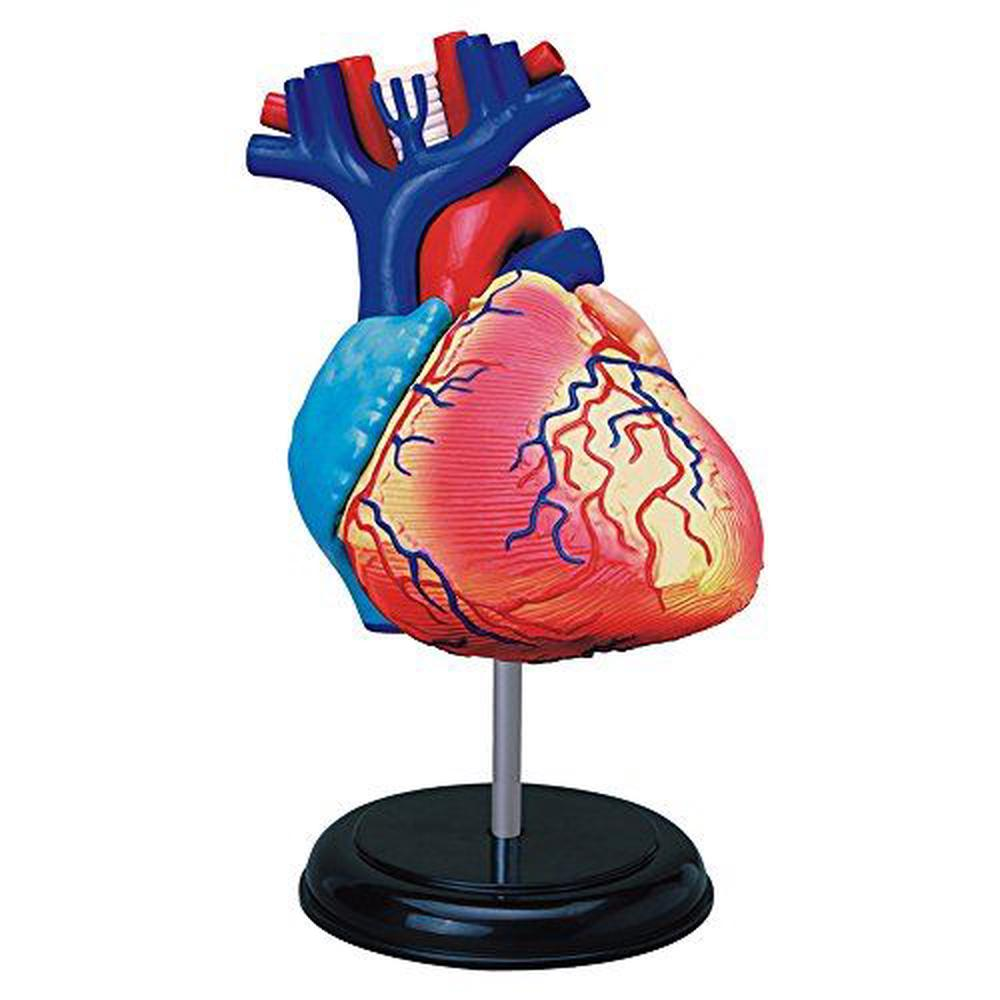 Tedco Human Anatomy Heart Anatomy Model Buy Online At The Nile