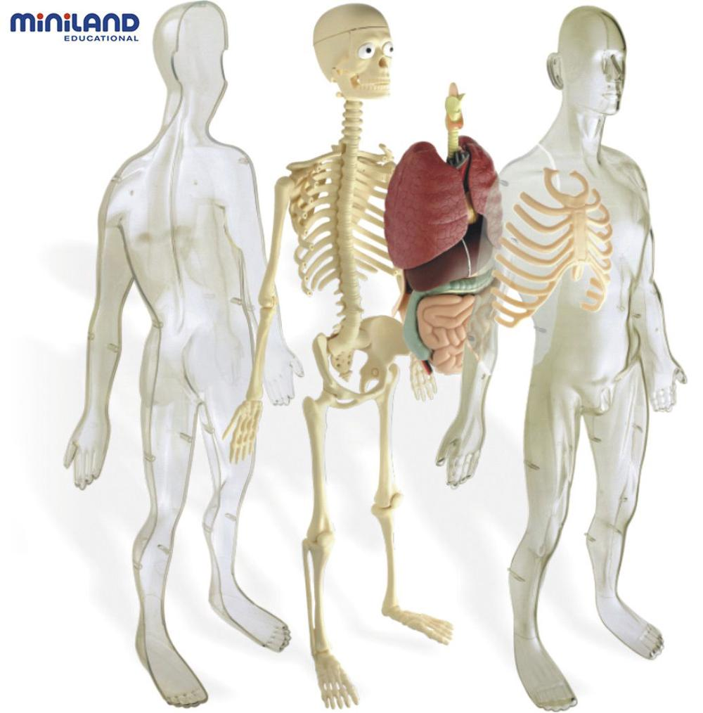 Miniland Science Human Anatomy Skeleton Set Buy Online At The Nile