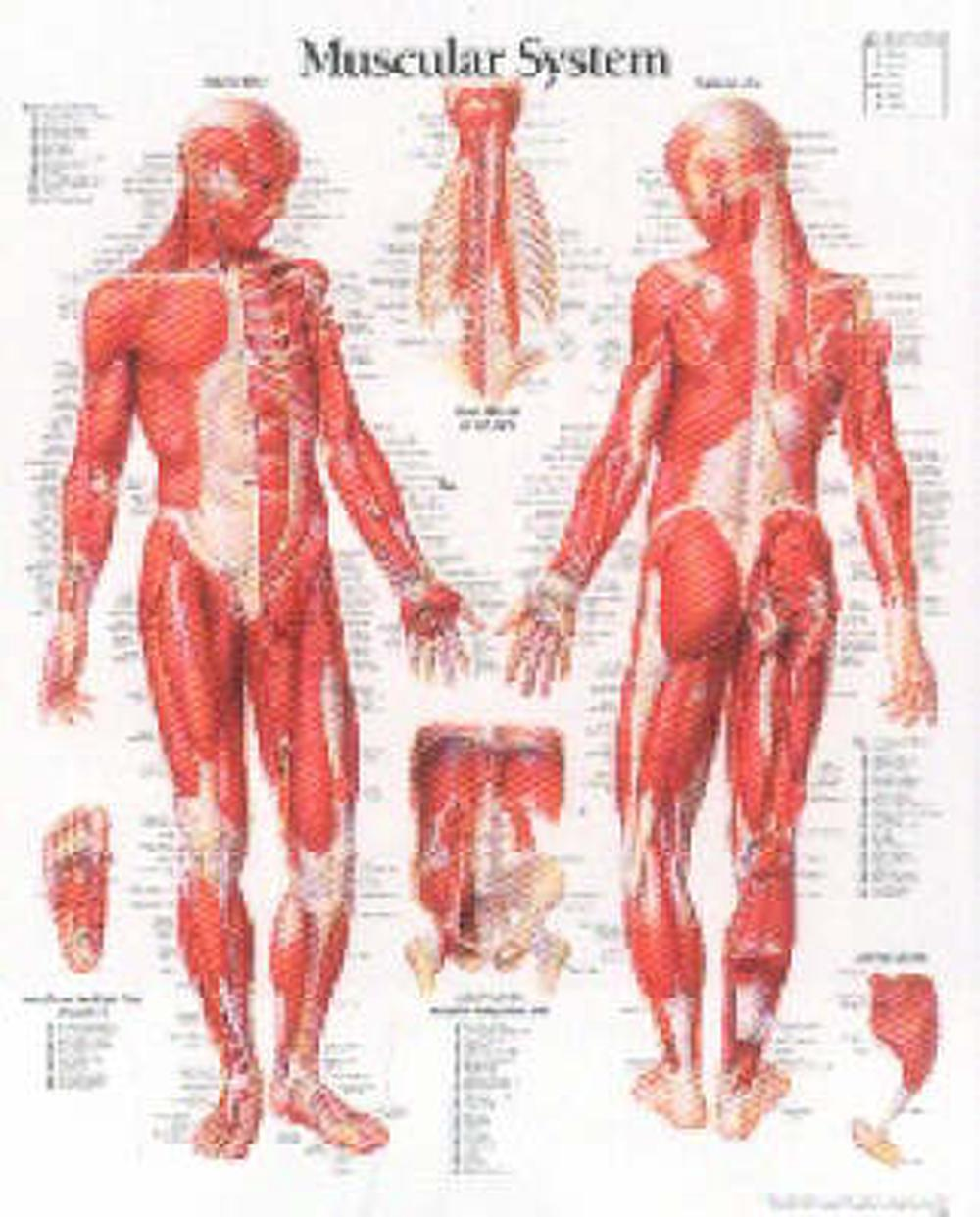muscular system with male figure laminated poster by scientific publishing,  paperback, 9781930633032 | buy online at the nile